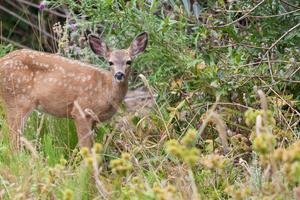 Fawn strikes a pose in the brush