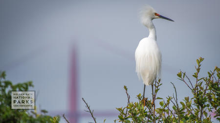 Snowy egret on Alcatraz with out of focus Golden Gate Bridge in background