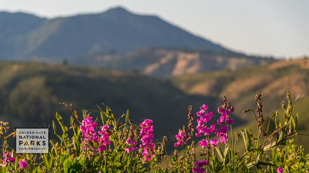 Pink wildflowers in foreground with Mt. Tam in the background