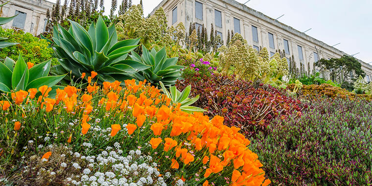 A garden of colorful wildflowers surrounds a former prison building on Alcatraz Island.