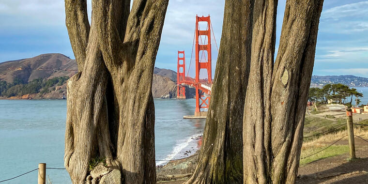 Golden Gate Bridge between two Cypress tree trunks.