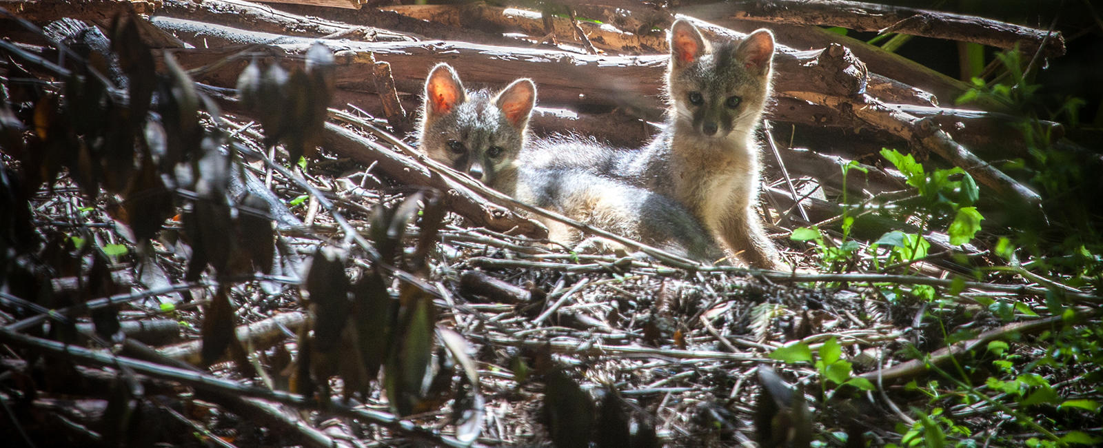 Baby foxes in Muir Woods