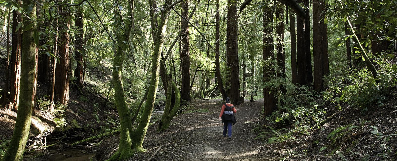 Hiking among redwoods