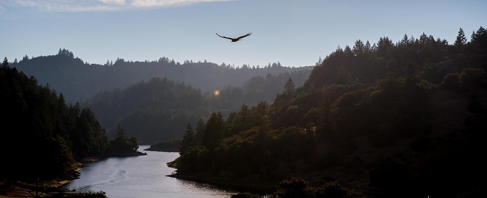 A raptor flies near Mt. Tam.