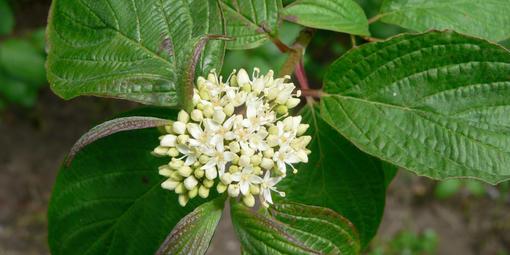 Cornus sericea (American Dogwood)