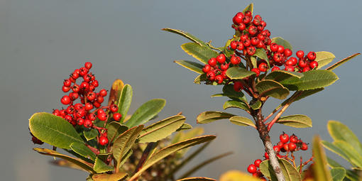 toyon, Christmas berry