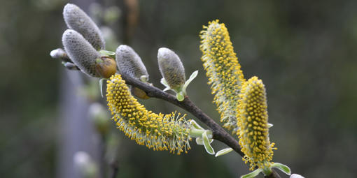 Salix lasiolepis (Arroyo Willow)