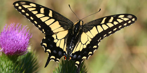 A black and yellow Anise Swallotwail butterfly sits on a plant with its wings open