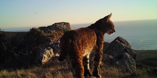 bobcat on mount tam