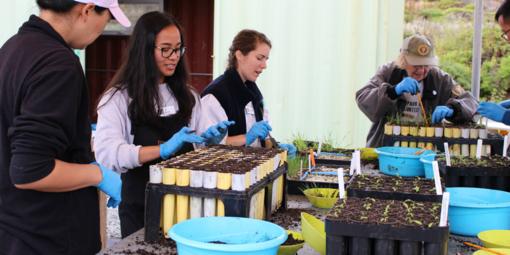 Volunteerstransplant native plants at the Fort Funston nursery