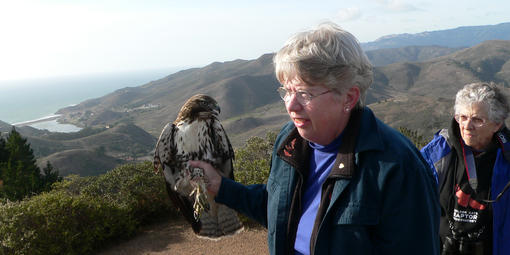 Marion Weeks holds a juvenile Red-tailed Hawk for radiotelemetry