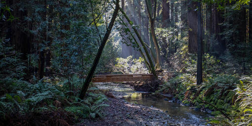 Bridge in Muir Woods Forest
