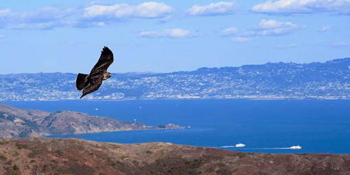 Hawk in flight over Bay.