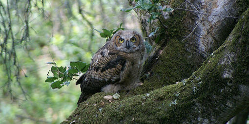owl at Muir Woods