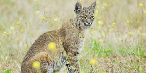 A bobcat sits in a field of tall grasses with yellow flowers