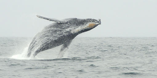 A humpback whale is seen breaching off the coast of California in 2010.
