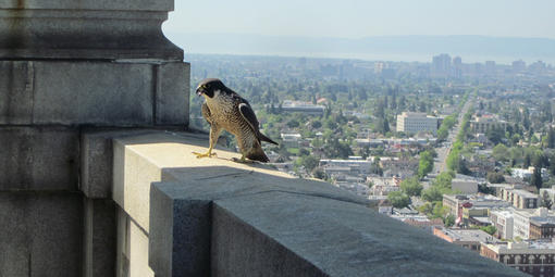 A Peregrine Falcon defends its nest at the UC Berkeley Campanile tower.