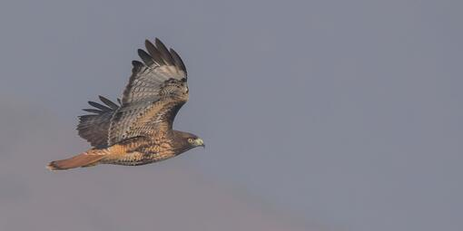 Adult Red-tailed Hawk