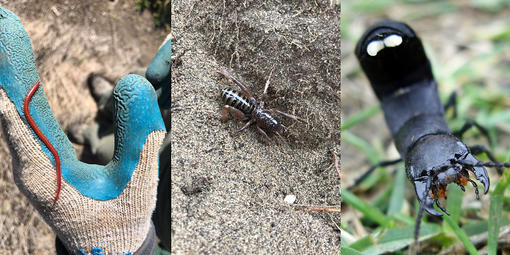 Insects spotted in the Golden Gate National Parks, from left, strigamia, Jerusalem cricket, devil's coach horse.