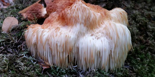 Lion's Mane (Hericium erinaceus) spotted on Mt. Tamalpais.