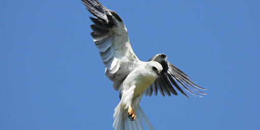 A White-Tailed Kite in flight.