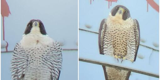 Side-by-side photos two peregrine falcons, male on left and female on right.