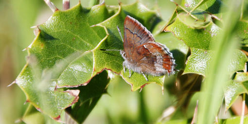 Small reddish-brown butterfly resting on a leaf