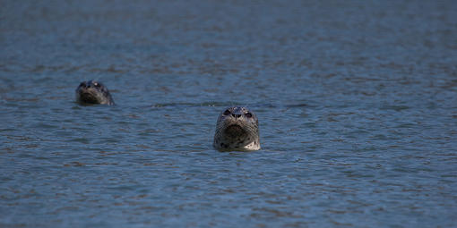 Seals in Bolinas Lagoon