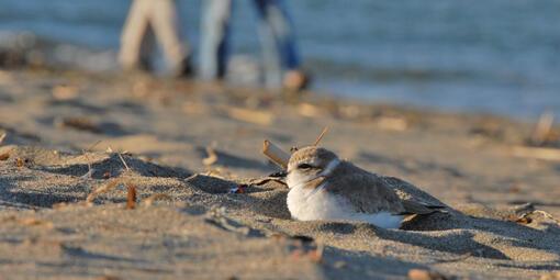 Western snowy plovers enjoying the beach
