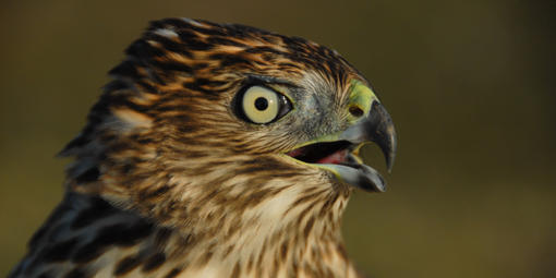 A close up of a hawk