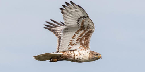 A Ferruginous Hawk is captured flying past Hawk Hill in November of 2016.