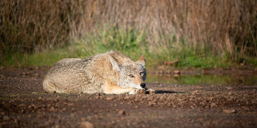 A coyote stares into the camera while lounging in the Marin Headlands.