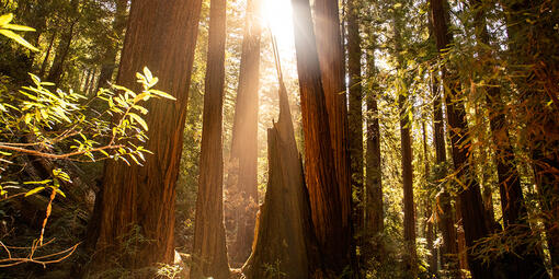 Sunlight shines through canopy at Muir Woods