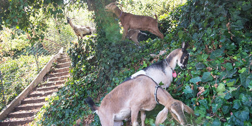 About 75 goats munched through the area as part of the East Black Point Project at Fort Mason, a former Army post that is now an amalgamation of residences, visitor destinations, and offices.