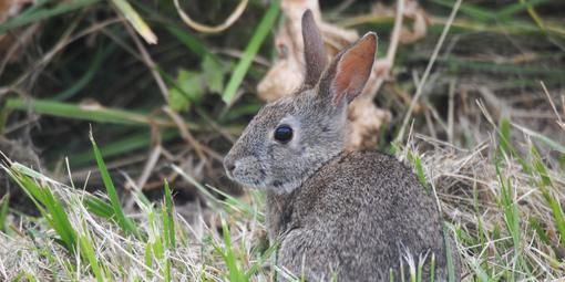 Western brush rabbit
