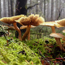 Smoky-gilled hypholoma mushroom