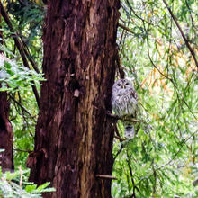 Barred owl in Muir Woods National Monument