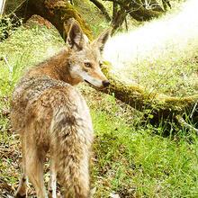 Coyote on Mount Tamalpais